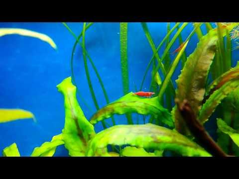 Креветки вишни и рыбы