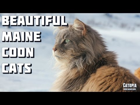 Maine Coon Cat Video - Beautiful Maine Coon Cats Compilation 1