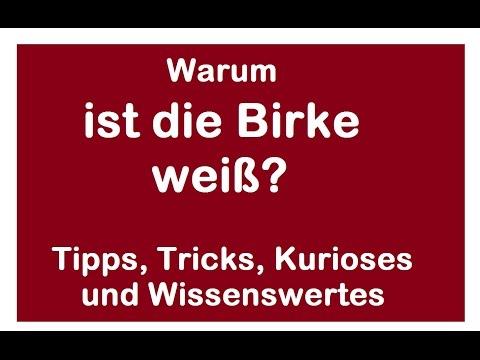 Warum ist die Birke weiß - Wissenswertes über den Baum - Betulin Rinde
