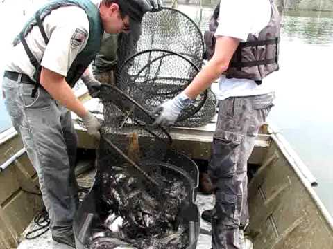 Hoop Net For Sampling Channel Catfish In Cedar Creek Lake