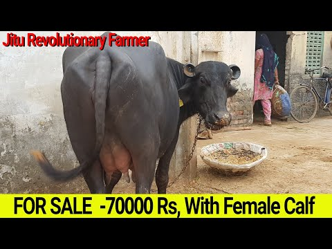 👍FOR SALE: First Timer MURRAH -70,000 Rs👍with FEMALE CALF