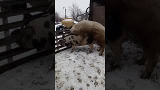 Свинка Пепа и Кабан Филька брачные игры)Хряк кроет свинку) Садка)