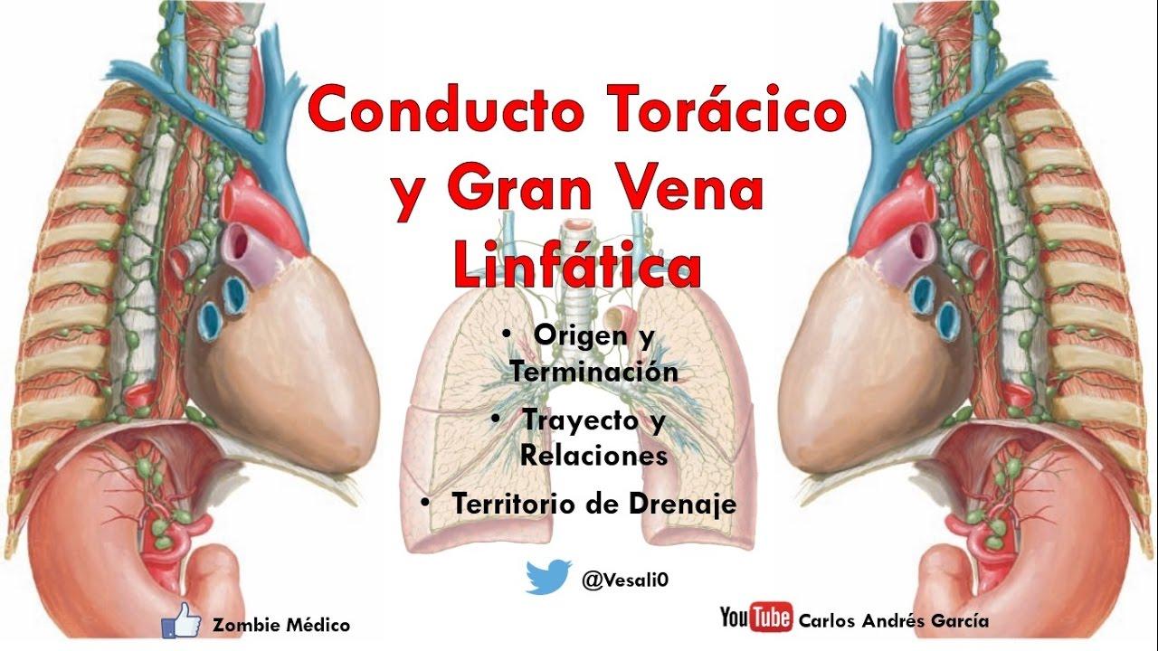 Anatomía - Conducto Torácico, Gran Vena Linfática y Cisterna del ...