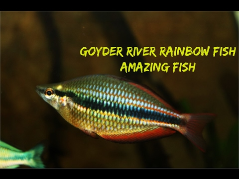 Goyder River Rainbowfish: Amazing Fish