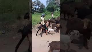 Goat riding boy in village