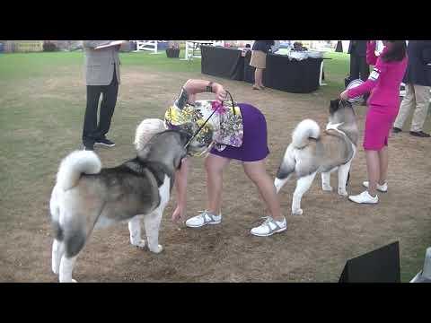 American Akita Sydney Royal Dog Show 2019