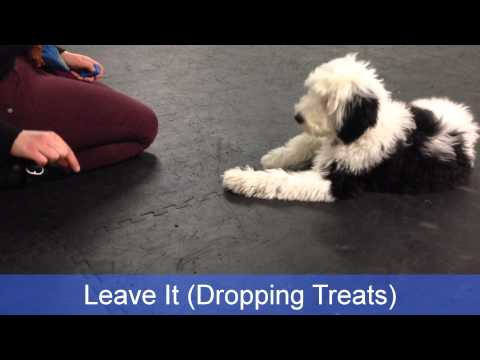 Cotton's Puppy Academy Graduation! 16 Week Old Sheepadoodle