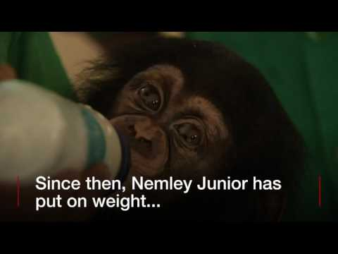 BBC News   Baby Chimp Thriving After Rescue mar 2017
