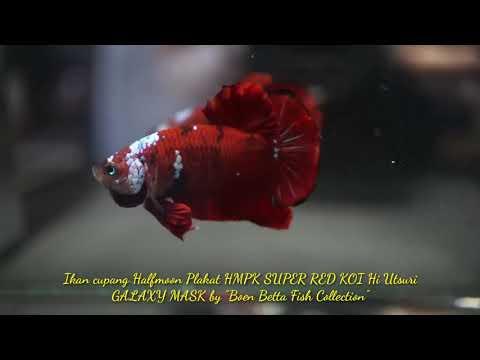 Full Download] Review Ikan Cupang Halfmoon Super Red