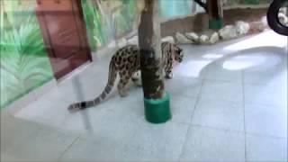 Дымчатый леопард Сан 22.10.17г.