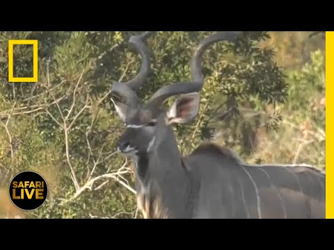 Safari Live - Day 11 | National Geographic