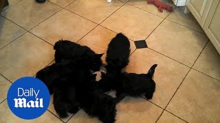 Adorable bunch of Scottish terriers spin in circle while drinking milk - Daily Mail