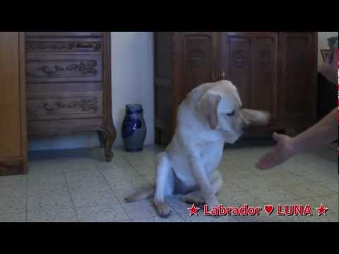 labrador-puppy-5-months-education