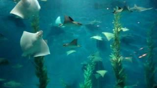 Акулы и скаты (шанхайский океанариум, сентябрь 2010)(В сентябре 2010 года сотрудники редакции журнала «Потребитель» съездили в командировку в китайский Шанхай...., 2011-01-31T20:26:14.000Z)