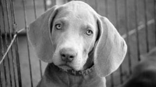 Vegasweims    Our Weimaraner Pictures