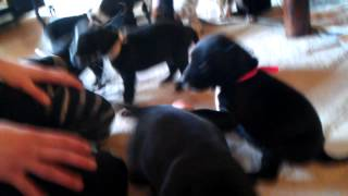 Dalmatian Eng. Staff Mix Puppies