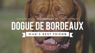 DOGUE DE BORDEAUX: MAN'S BEST FRIEND