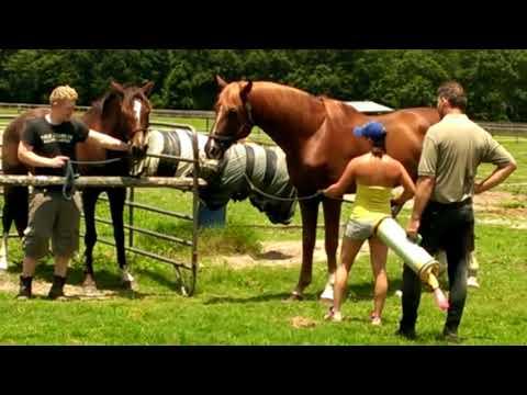 proses mengawinkan kuda di eropa, betina hanya untuk pancingan saja