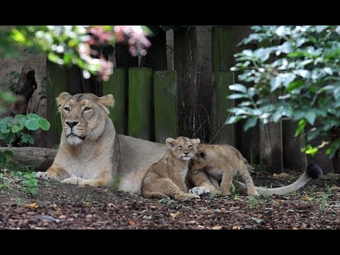 London Zoo lions so inbred that two out three cubs dying