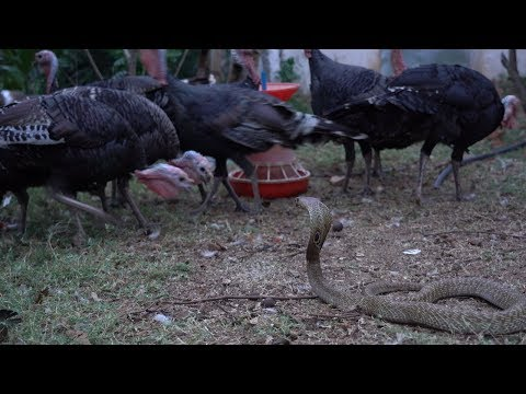 turkey bird vs Snake 2