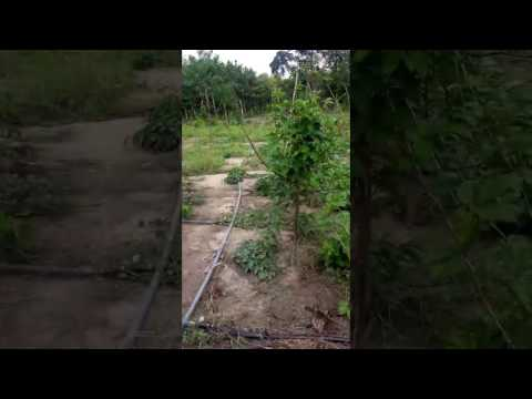 irrigating our Ugwu Farm with Spraytubes using the Treadle Pump.