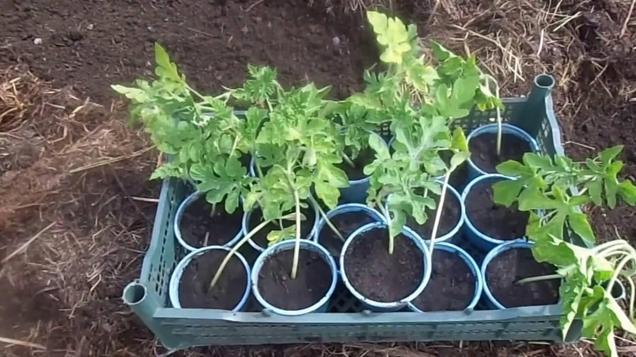 Арбуз выращивание, рассада