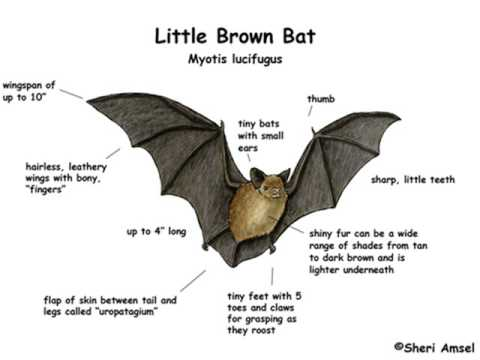 Image result for Little brown bat