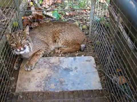 Bobcat Trapping Using Live Bait And Box Trap Youtube