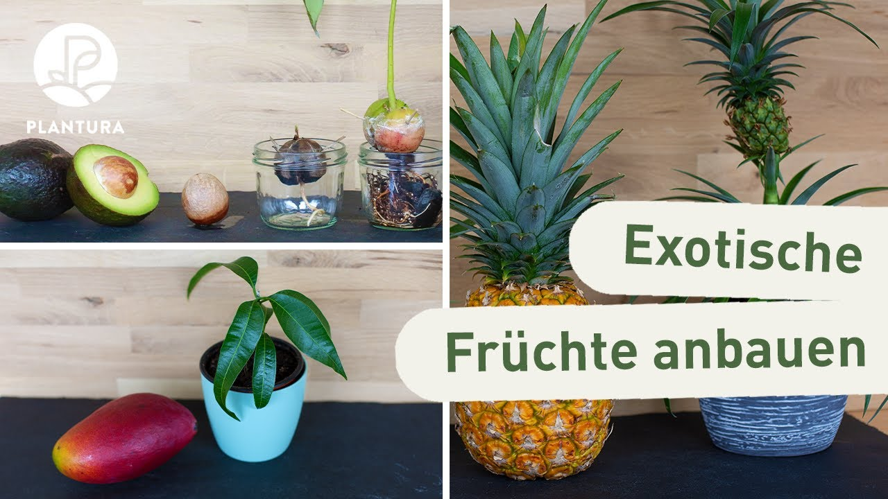 ananas avocado mango anpflanzen anleitung zur vermehrung und anbau youtube. Black Bedroom Furniture Sets. Home Design Ideas