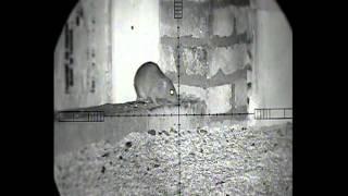 Air rifle pest control - Ratting at the pig farm