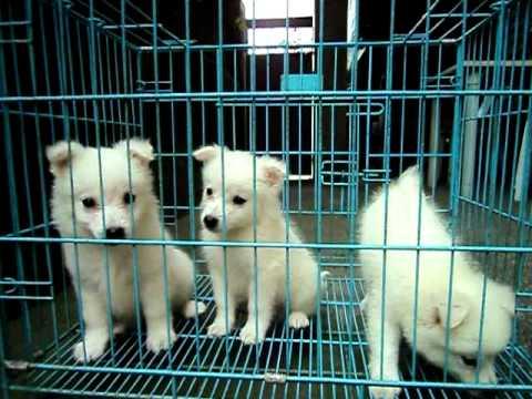 Japanese Spitz Puppies 2