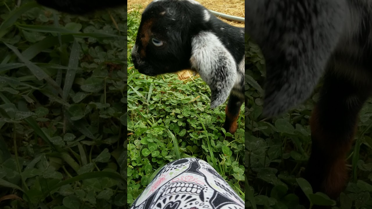 Watch 2 day old baby goat Charlotte bounce and jump