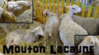 Mouton Lacaune (Lait) - Ovis aries - Linnaeus, 1758- Salon de l'Agriculture 2015 - 03/2015