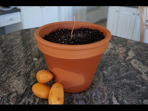 How to Grow a Mango Tree from Seed!
