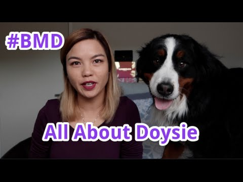 Introducing Doysie the Bernese Mountain Dog