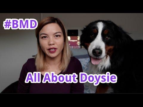 Introducing Doysie the Bernese Mountain Dog
