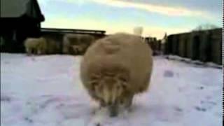 Боря, кончай! (Combat sheep)
