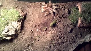 Chilean Rose Hair tarantula vs baby mouse