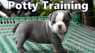 How To Potty Train An American Bully Puppy - American Bully House Training - American Bully Puppies