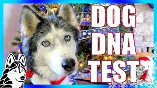 DOG DNA TEST RESULTS   We DNA Tested our Husky