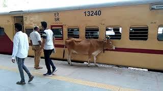 The sacred cow on a railway platform