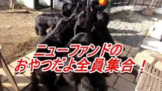 ニューファンドランド犬がワラワラいるところで、猛獣使いのようにおや...