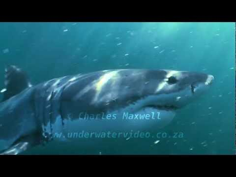 Great White Sharks 2012 filmed by Charles Maxwell