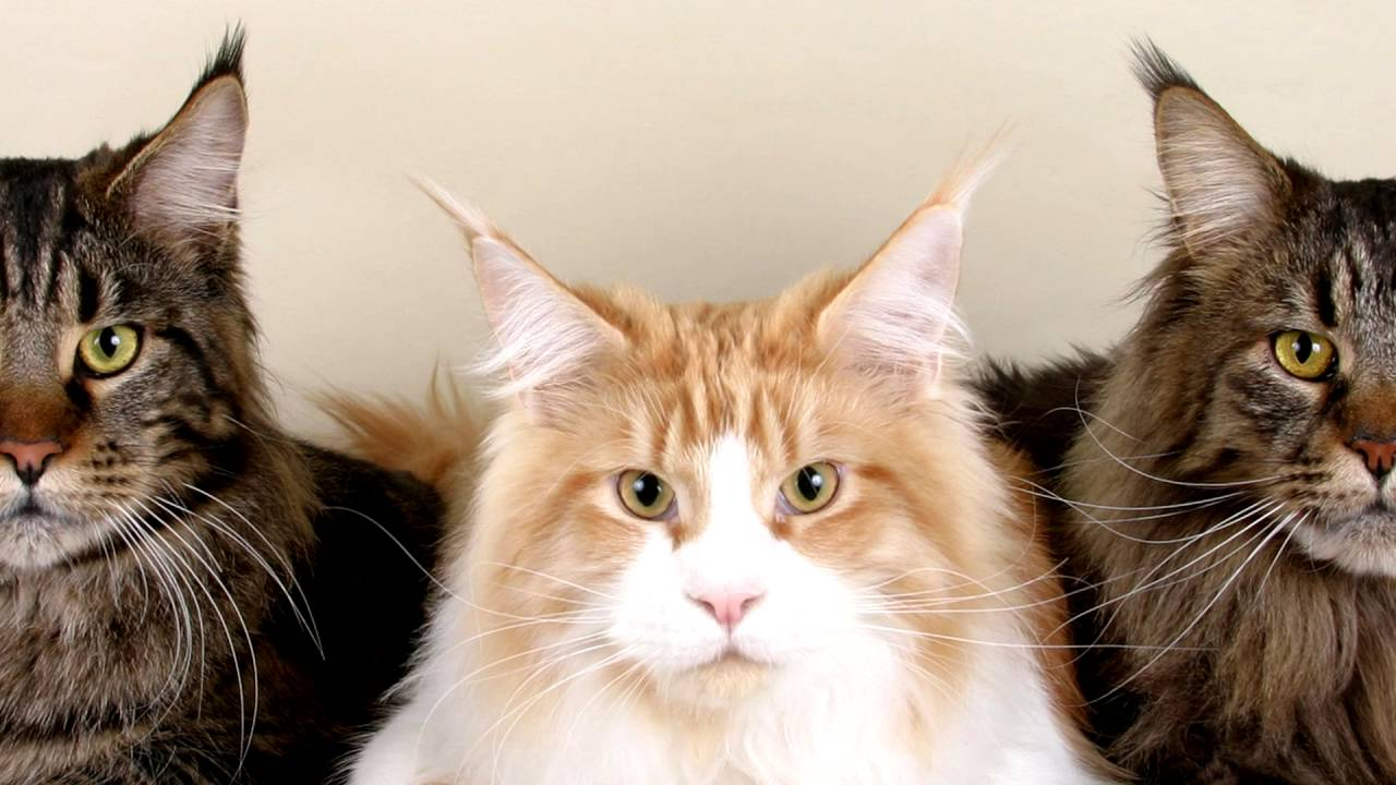 мейнкун фото кошки