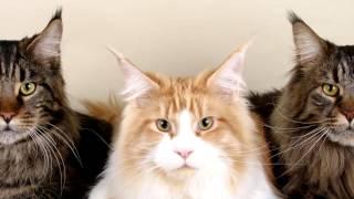Порода кошек. Мейн-кун. Одна из самых дорогих пород кошек