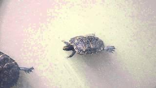Turtle mating ritual