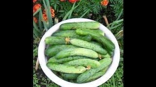 Как я выращиваю огурцы в открытом грунте