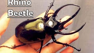 thinoceros beetles