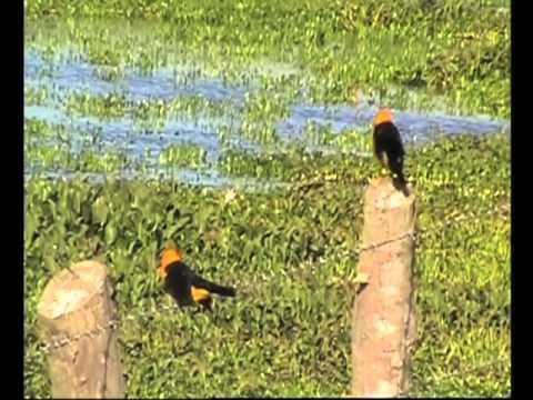 Birdwatching Los Llanos del Orinoco Venezuela with Joe Klaiber - Part 2