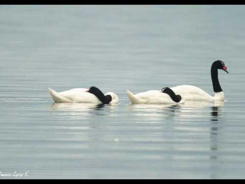 BASILIO-----cisne cuello negro, cisne cuello blanco.wmv